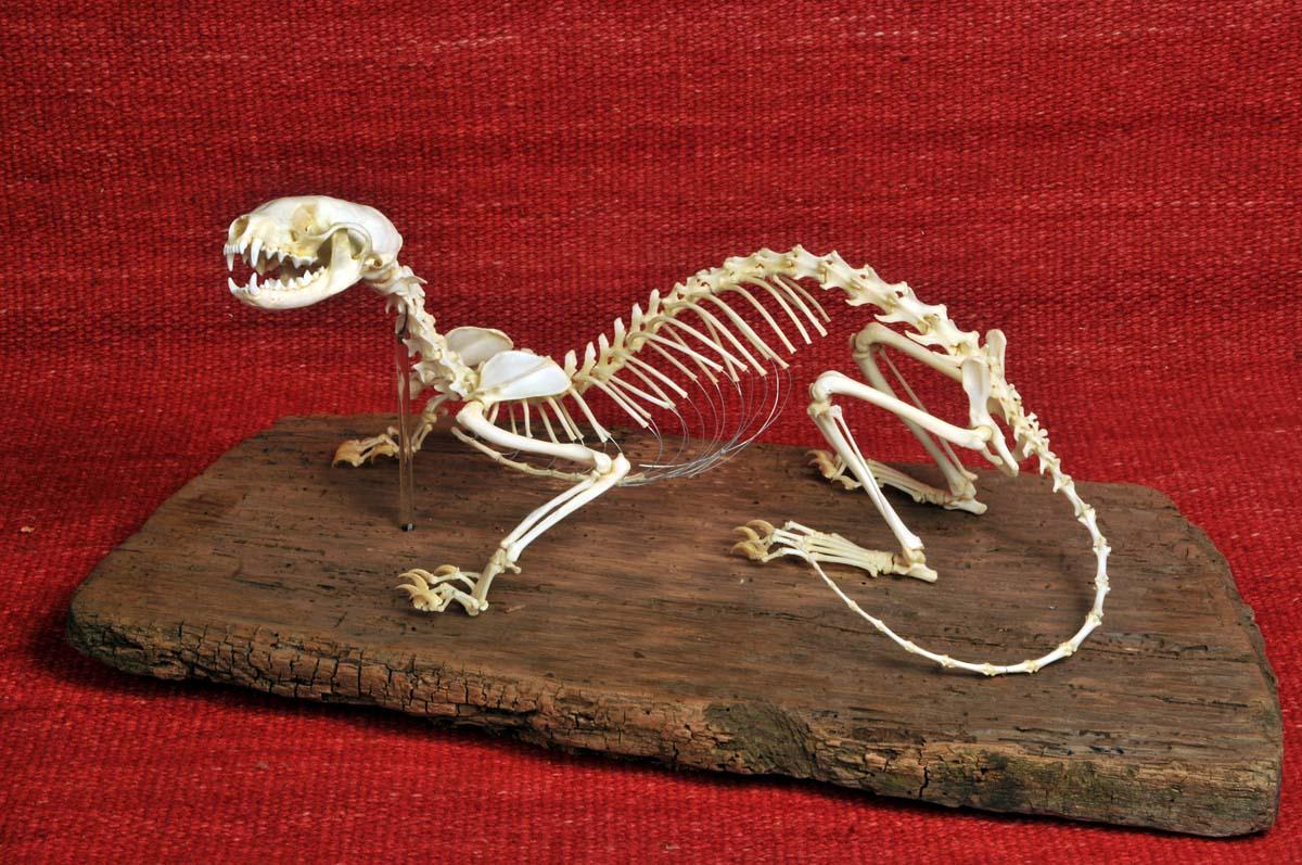 Collezione di  Scheletri Animali di Amedeo Materassi. Nella foto lo scheletro di una Faina. Brescia Giugno 2013. Ph Christian Penocchio